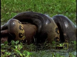 Amazon Anaconda Squeezes Life Out of Worlds Largest Rodent